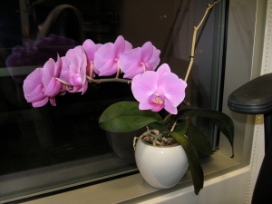 Phal from my office in England happily blooming for the second time that season