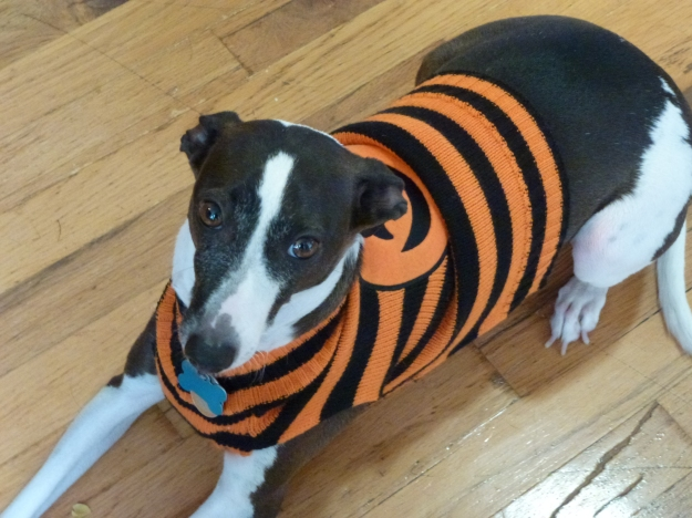 Dog in Halloween sweater
