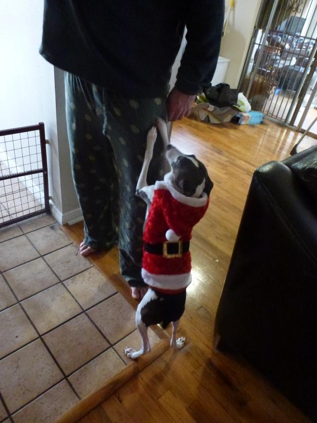 Itlian Greyhound Father Christmas costume